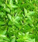 Plantes m dicinales des cara bes antilles guadeloupe - Basilic seche a ne pas consommer ...